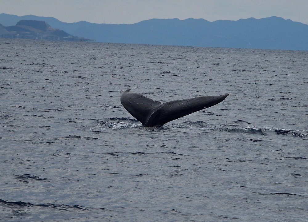 Okinawa Whale watching
