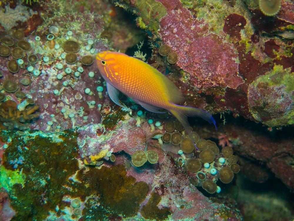 hawkfish anthias