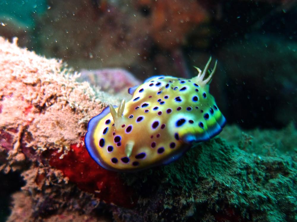 沖縄レッドビーチウミウシ