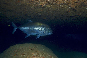 cape zanpa giant trevally