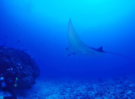 Manta ray in Kerama islands !