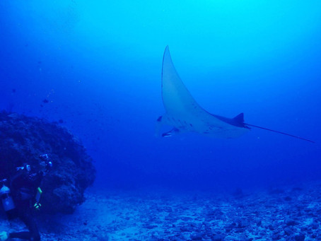 Manta ray in Kerama islands !