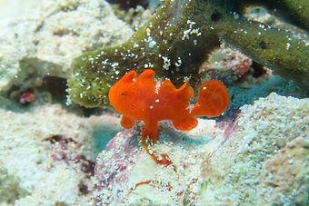 manza frog fish