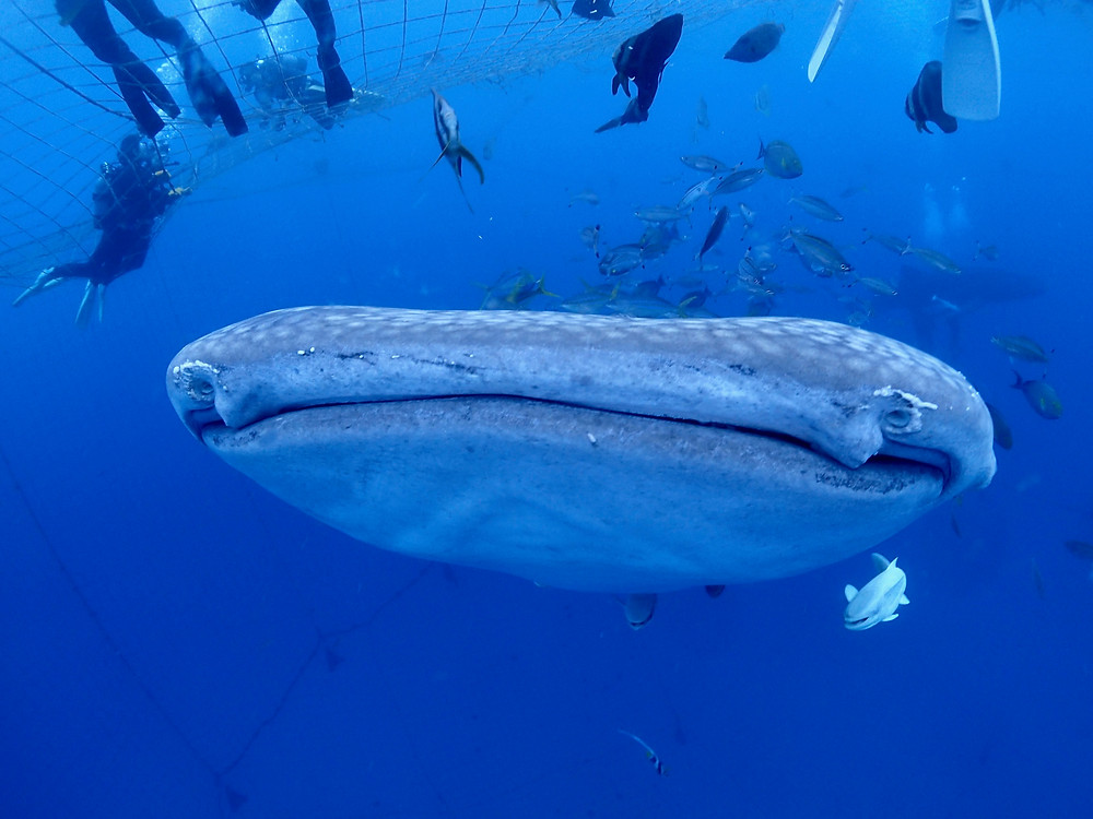 blue cave diving snorkeling Whale shark