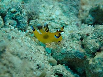 picachu nudibranch