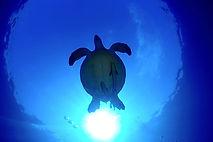 Discover scuba divng turtle