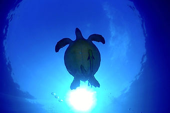 Blue cave onna turtle