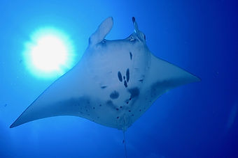 kerama islands manta ray