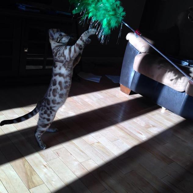 JungleCreations Tybalt