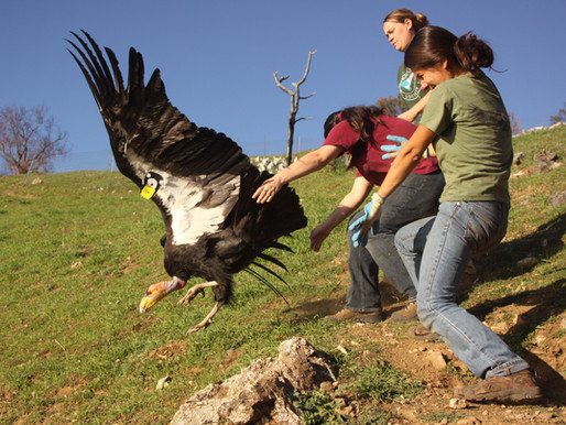 For the First Time in a Century, California Condors Will Take Flight in the Pacific Northwest