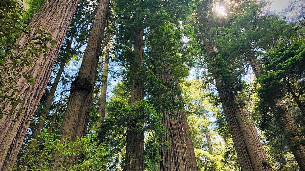 image_HR_Redwoods.jpg