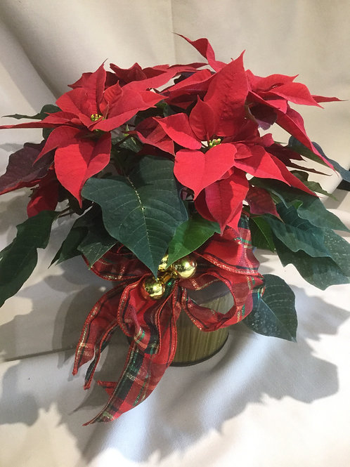 Poinsettia rouge 6po
