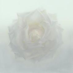 Feminine Essence : Rose 2