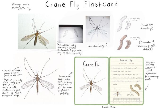 Crane Fly Flashcard Development