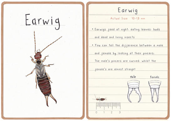 Earwig Flashcard