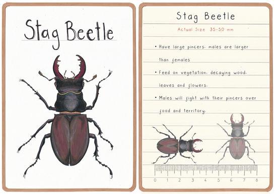 Stag Beetle Flashcard
