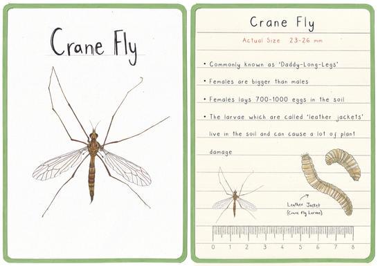 Crane Fly Flashcard