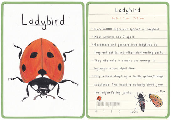 Ladybird Flashcard