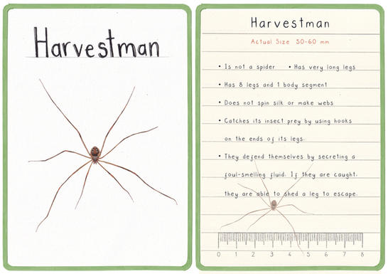 Harvestman Flashcard