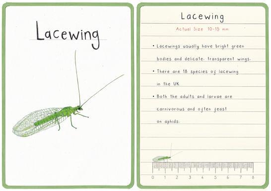 Lacewing Flashcard