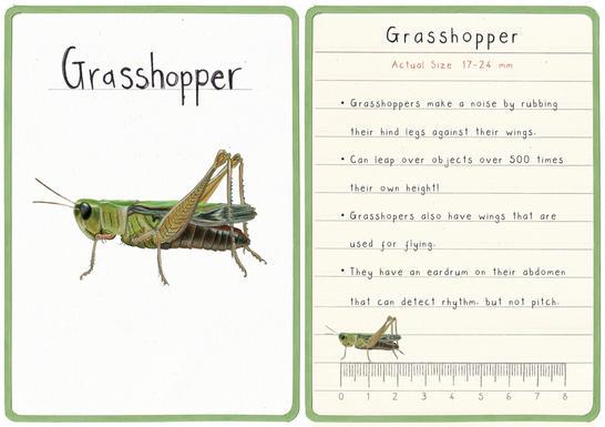 Grasshopper Flashcard