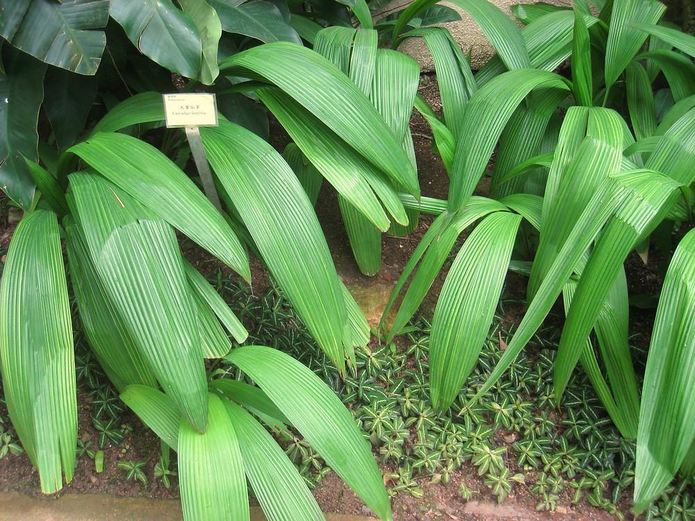 Curculingo latifolia, curculin