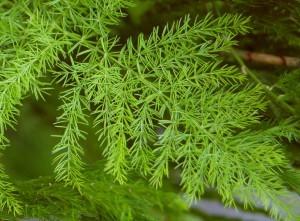 Shatavari - Restorative Herb for Women (and Men)