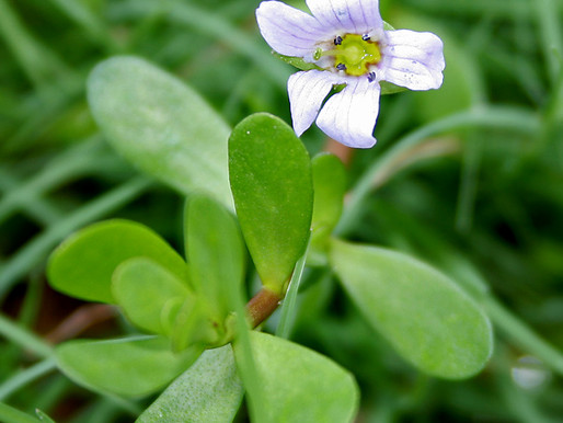 Brahmi Brain Restorative Herb: 5 Benefits
