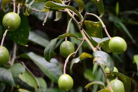 Mabinlang plant