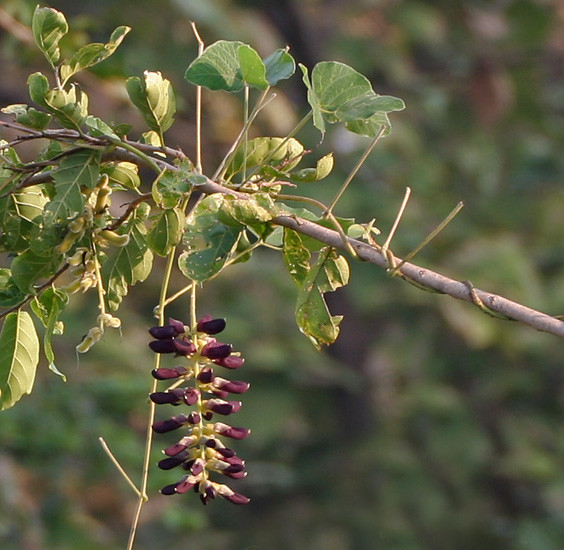 mucuna velvet bean L-dopa parkinson's disease ayurveda remedy