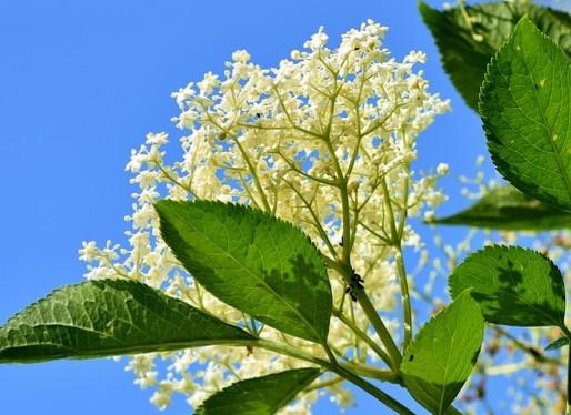 Elderberry for Natural Immune Support