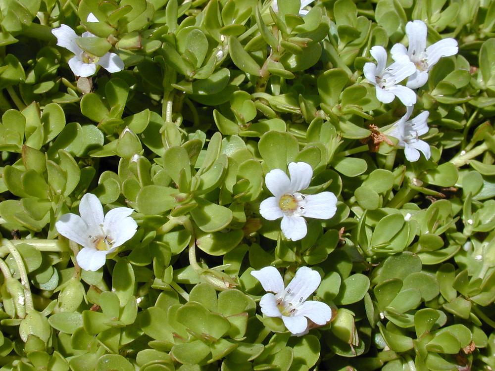 bacopa brahmi herb plant with flower