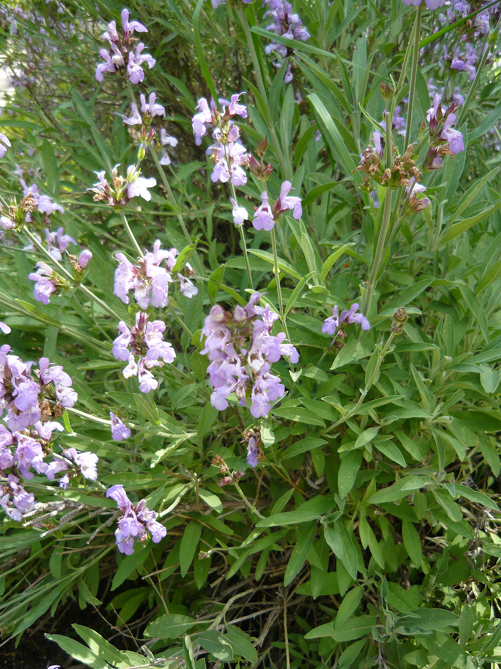 salvia sage mint family medicinal herb for memory