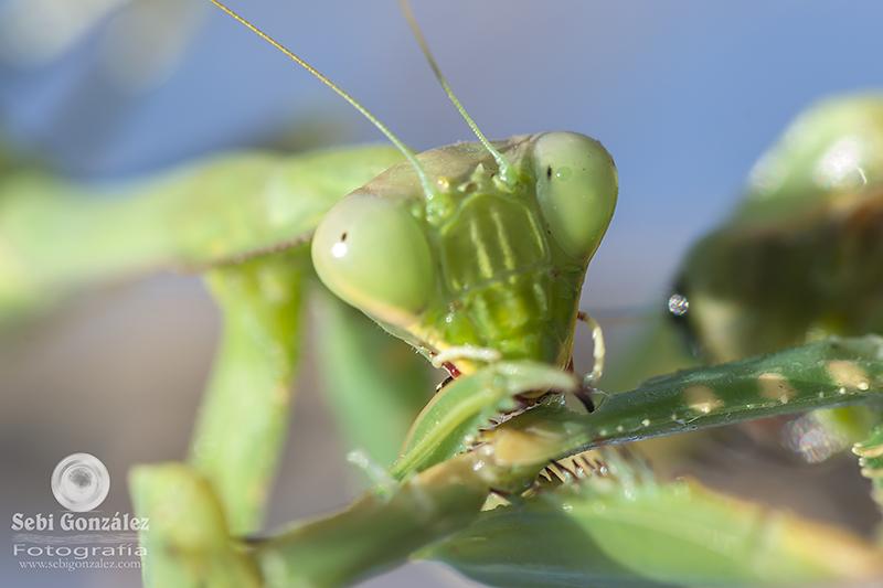 Mantis religiosa I