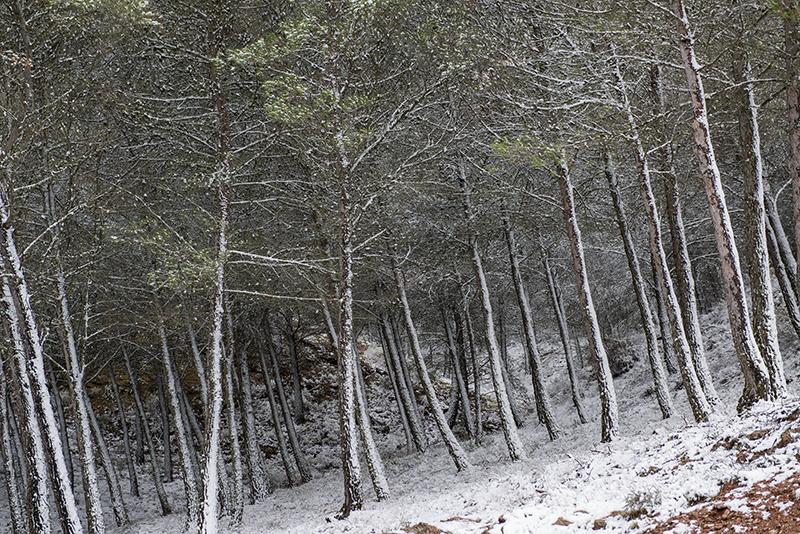 Camino entre pinos.