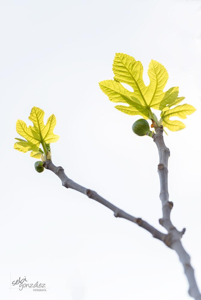 Ficus carica. Higuera.