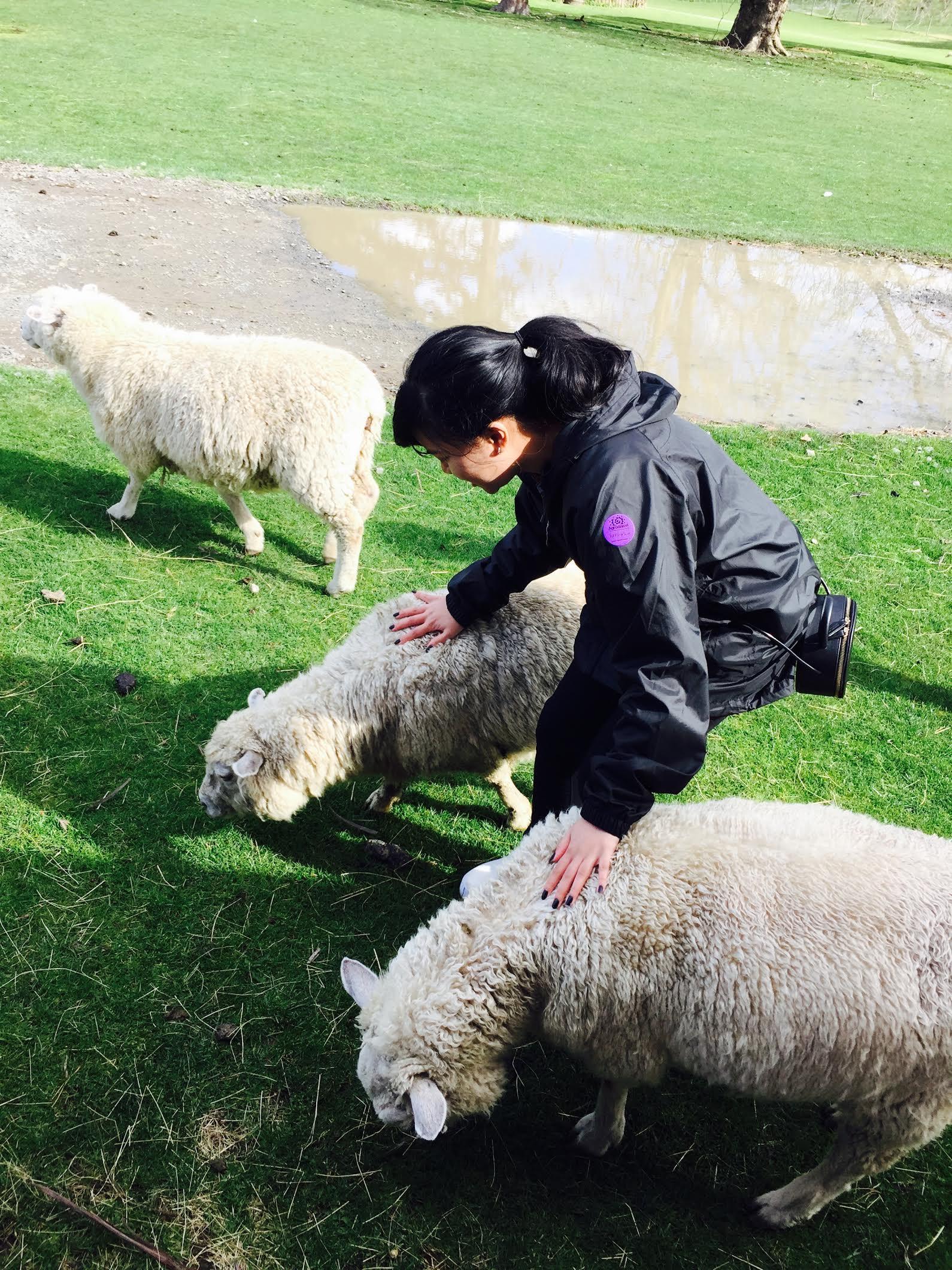 Agrodome Farm Sheeps
