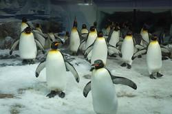 800px-Colony_of_Emperor_Penguins_at_Kelly_Tarlton's