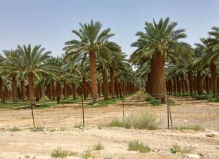 О пальме и паломничестве...