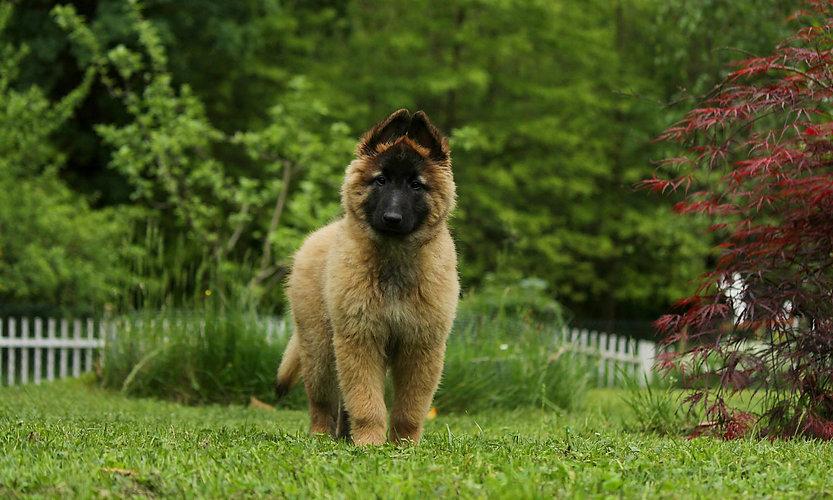 Pastore Belga Tervueren cucciola