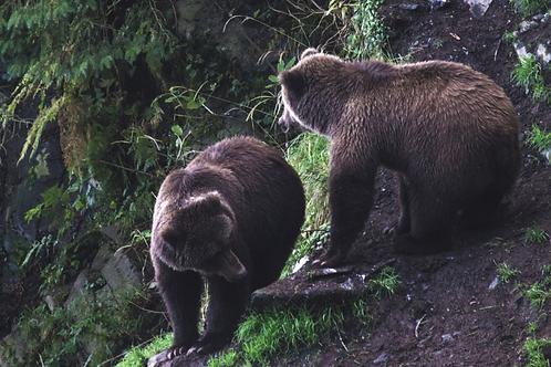 A Bearadise - Alaska