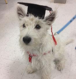Graduating Westie Puppy