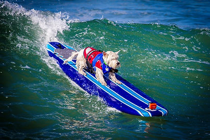 Westie Whispers Trystan is a surfing competitor