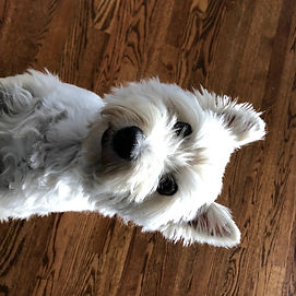 Polly the Westie