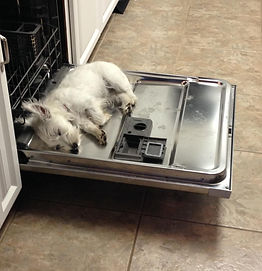 Westie Dishwasher Sleeping