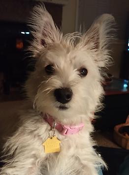 Pink Collar Pup