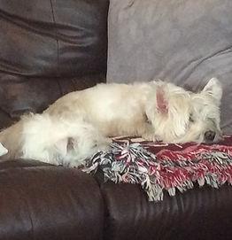 Denise - Sleeping Westies