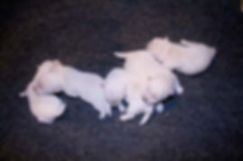 5-5-20 Chantilly Pups.JPG