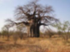 african-baobab-tree.jpg