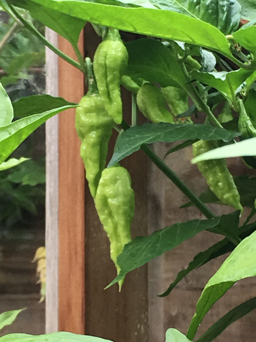 Ghoulish Ghost Peppers, the fearsomely hot Bhut Jolokia, are a way off ripening.